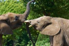 Elephant talk. Two elephant talk in zoo Royalty Free Stock Photo