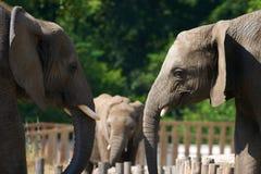 Elephant talk. Two elephant talk in zoo Stock Photo