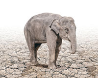 Elephant tand alone on the cracked soil ground Royalty Free Stock Photo