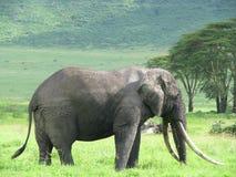 Elephant (Tanzania). Elephant standing in the grass in Ngorongoro Conservation Area (Tanzania Royalty Free Stock Photo