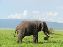 Elephant (Tanzania) Stock Photography