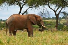 Elephant in Tanzania, horizontally. Elephant walking and eating in Tarangire National Park, Tanzania Royalty Free Stock Photos