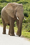 Elephant on a tar road. Large male elephant walking on a tar road in a reserve Stock Photography