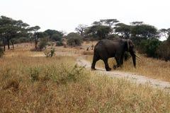 Elephant in tarangire. A elephant is crossing the road in the tarangire park in tanzania Stock Photos