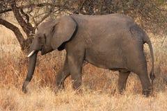 Elephant in Tarangire Park. An elephant in the savanna of the Park of Tarangire in Tanzania Stock Photo