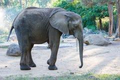 Elephant. Teenage elephant looking for something to eat stock image