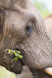 Elephant teeth and mouth close-up detail Royalty Free Stock Photo