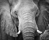 Elephant teeth and mouth close-up with detail artistic conversio Stock Image
