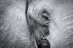 Elephant teeth and mouth close-up with detail artistic conversio Stock Photos
