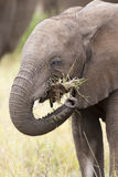 Elephant teeth and mouth close-up with detail artistic conversio Royalty Free Stock Photography