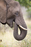 Elephant teeth and mouth close-up with detail artistic conversio Stock Images