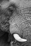 Elephant teeth and mouth close-up detail artistic conversion Royalty Free Stock Photo