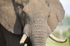 Elephant teeth and mouth close-up with detail Royalty Free Stock Image