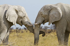 Elephant tenderly Stock Image