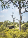 Elephant in th south africa nature Stock Images
