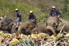 Elephant thai day Stock Photo