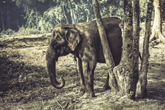 Elephant. Thai elephant in the forests Royalty Free Stock Photos