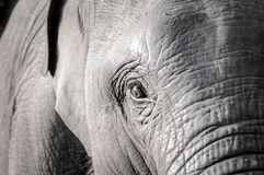Elephant. Thai in Thailand, Mammals Royalty Free Stock Photography