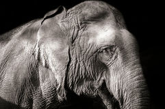 Elephant. Thai in Thailand, Mammals Stock Photos