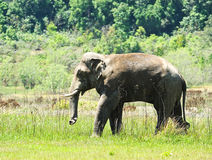 Elephant Thailand Royalty Free Stock Image