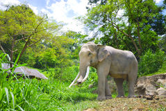 Elephant Thailand. Elephant in forest chiangmai Thailand Royalty Free Stock Photos