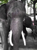 Elephant thailand. Asian elephants, elephant thailand, Close-up stock photography