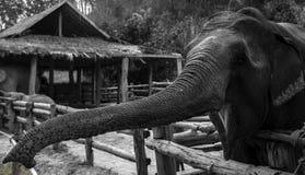 Elephant. In Thailand Asia. Travel Photo Stock Image
