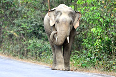 Elephant Thailand Royalty Free Stock Photography