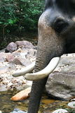 Elephant Thailand. Elephant head shot in Ko Chang in Thailand Stock Photos