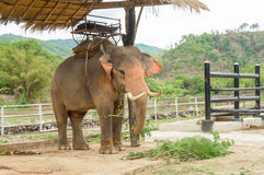 Elephant in Thailand Stock Images