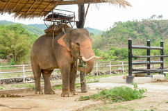 Elephant in Thailand royalty free stock photo