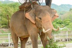 Elephant in Thailand Stock Image