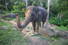 An elephant in Thailand Stock Photography