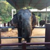 Elephant Thailand Stock Photography
