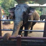 Elephant Thailand Royalty Free Stock Photo
