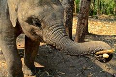 Elephant in Thailand Royalty Free Stock Photos