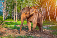 Elephant in Thailand Royalty Free Stock Images