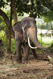 Elephant in Thailand Royalty Free Stock Photography