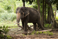 Elephant in Thailand Stock Photography