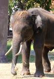 Elephant Thailand Stock Photo
