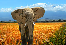 Elephant. In their natural habitat in the African savannah Stock Images