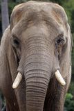 Elephant Thinking Stock Photo
