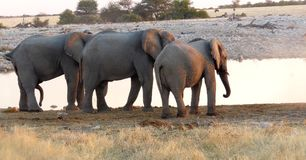 Elephant threesome royalty free stock image