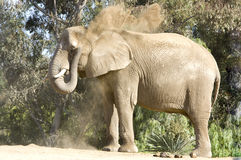 Elephant Throwing Dirt Stock Image