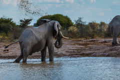 Elephant throwing dirt Royalty Free Stock Images