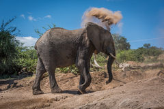 Elephant throwing dust over head on hillside Royalty Free Stock Images