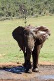 Elephant Throwing Mud on itself Stock Photos