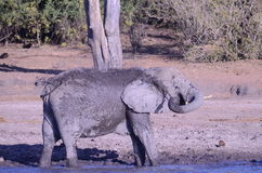 Elephant throwing mud on itself Royalty Free Stock Images