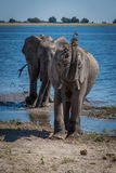 Elephant throwing mud over head beside river Royalty Free Stock Photos