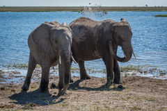 Elephant throwing mud over shoulder beside another Stock Photography